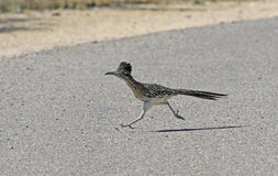 Running Road Runner. A Greater Roadrunner (Geococcyx californianus) running across a road. Shot in Tuscon, Arizona, United States of America stock photo