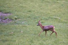 Running roe deer royalty free stock image
