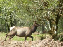 Running Roosevelt Elk Stock Image