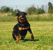 Running Rottweiler Royalty Free Stock Images