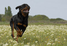 Running rottweiler Stock Photography