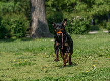 Running Rottweiler dog with ball playing on green grass. Selecti Stock Photos