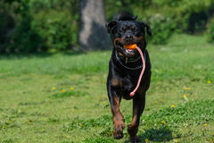 Running Rottweiler dog with ball playing on green grass. Selecti Stock Photography