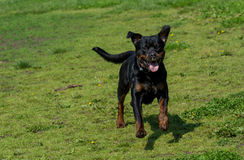 Running Rottweiler dog playing on green grass. Selective focus Stock Photography