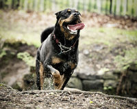 Running rottweiler dog. Rottweiler dog running through stream in countryside Stock Photography