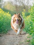 Running rough collie, long haired dog, fresh spring field. Running rough collie, long haired dog, fresh spring green field royalty free stock photography