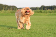 Running Ruby Cavalier King Charles Spaniel Stock Photos