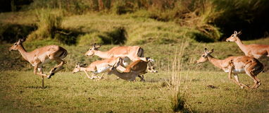 Running for safety. Herd of impala running and falling Stock Photography