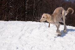 Running saluki Royalty Free Stock Images
