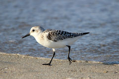 Running Sanderling. A sanderling (Calidris alba) foraging on a beach in Massachusetts Royalty Free Stock Image