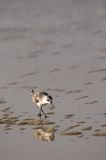 Running Sandpiper (Scolopacidae Family) Stock Images