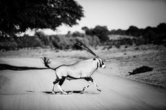Gemsbok running. A gemsbok running across a dirt road royalty free stock photography