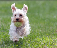 Running Schnauzer with Ball Royalty Free Stock Photos