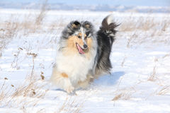 Running Scotch Collie In Winter Stock Images
