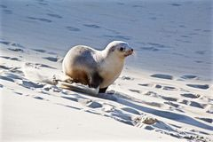 Running sea lion pup stock photos