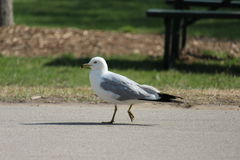 Running seagull Royalty Free Stock Photography