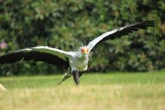 Running secretary bird Royalty Free Stock Photo