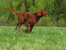 Running setter. The running young irish setter Royalty Free Stock Images