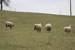 Running Sheep. A flock of sheep running in the opposite direction stock photography