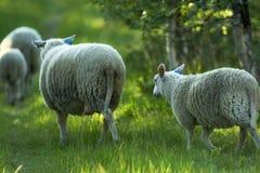 Running sheep Royalty Free Stock Photo