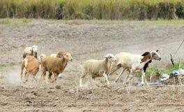 Running sheep Stock Photo