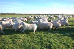 Running sheep Royalty Free Stock Image