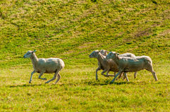 Running Sheep Stock Photography