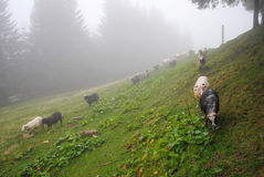 Running sheep. The herd of running sheep in the Carpathians Royalty Free Stock Image
