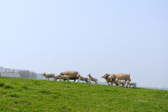 Running sheep and lambs Royalty Free Stock Image