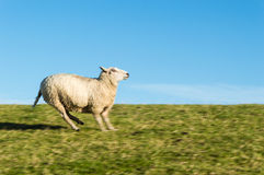 Running Sheep Royalty Free Stock Photos