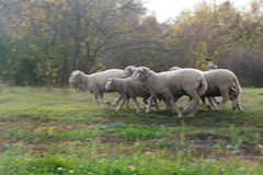 Running sheep. In a meadow with a shepherd Stock Photos