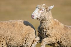 Running Sheep (Ovus aries) Royalty Free Stock Photo