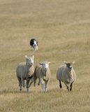 Running the Sheep (Ovus aries) In. Sheep herding dog takes trio of sheep across pasture - motion blur & dog completely out of focus stock photos