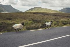 Running sheep Stock Photo