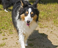 Running sheepdog Stock Photography