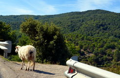 Running sheeps on the road Stock Photo