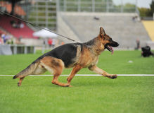 Running shepherd dog in stadium Stock Photography