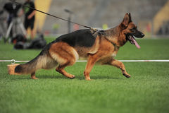 Running shepherd dog in stadium Stock Image
