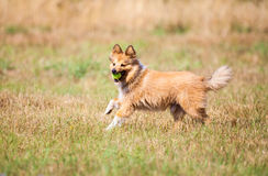 Running shetland sheepdog with a ball. A running shetland sheepdog with a ball Stock Photo