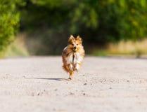 Running shetland sheepdog with ball Royalty Free Stock Photography