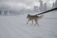 Running siberian husky Royalty Free Stock Image