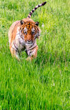 Running Siberian Tiger Royalty Free Stock Photo