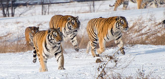 Running Siberian Tigers Royalty Free Stock Images