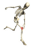 Running skeleton with sore inflamed knee. 3D running skeleton with sore inflamed knee on white background Royalty Free Stock Photography