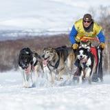 Running sled dog team Kamchatka musher Semashkin Andrey. Kamchatka Sled Dog Racing Beringia. PETROPAVLOVSK, KAMCHATKA PENINSULA, RUSSIA - FEB 25, 2017: Running Royalty Free Stock Photography