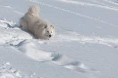 Running in a snow. Samoyed Dog in winter. snow and cold - the perfect weather for him Stock Images