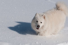 Running in a snow. Samoyed Dog in winter. snow and cold - the perfect weather for him Stock Photo