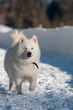 Running in a snow. Samoyed Dog in winter. snow and cold - the perfect weather for him Stock Photos