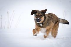 running snow för hund fotografering för bildbyråer