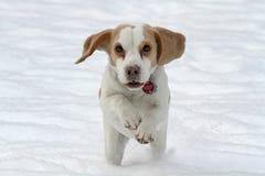 running snow för beagle Royaltyfri Fotografi